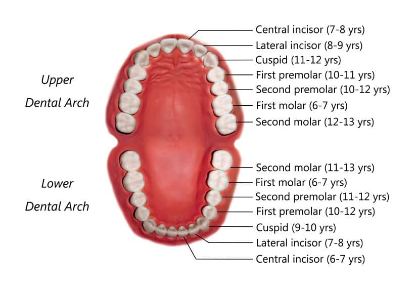 permanent teeth eruption order